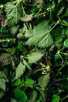Nettles, popping up on the forest floor are one of the surest signs of spring. Their bright green leaves and prickly stems emerge as the ground thaws and the weather warms. As they grow taller, the… Food Styling, Green Leaves, Plant Leaves, Food Texture, Vegetables Photography, Vegetable Quinoa, Dark Food Photography, Healthy Soup Recipes, Still Life