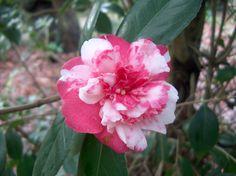 Camellia japonica 'Saloia' (Portugal, 1865)