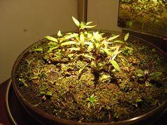 Review of Do!Aqua Wabi-Kusa Branch Light with pics! - Page 2 - Equipment - Aquatic Plant Central