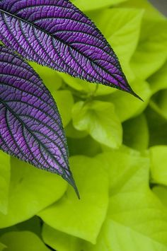 Kumihimo color inspiration - fab colors, combinations and palettes: Nature's palate of purple Persian Shield and chartreuse potato vine Plum Purple, Shades Of Purple, Foto Instagram, All Things Purple, World Of Color, Belleza Natural, Green And Orange, Green Colors, Color Combos