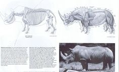 We don't domesticate rhinos, but their body type, like the oxen, is built for great weight. Rhinos have comparatively thick leg bones, stout and low to the ground. Burden beasts bend more at the joints than horses and deer - bent structures diffuse weight better (this is why our femurs bow in to the knee instead of going down straight). The back of the skull is flat and the spines of the vertibrae extended for powerful neck muscles. That head is heavy!