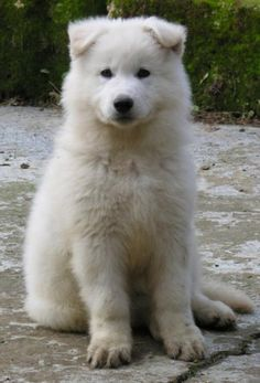 White Swiss Shepherd puppy - love this breed! If I ever get a dog.. it'll be one of these!