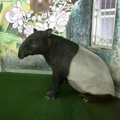 [画像]マレーバク(馬来獏、Malayan マレーバク(馬来獏、Malayan Tapir, Asian Tapir) Tapirus indicus ...