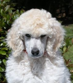 Sassy the Poodle