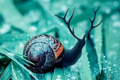 "SNAIL If you mix a Deer with a Snail, do you get a Sneer? Or an Elk/Snail--a Snelk? With a Moose--a Snoose? Obviously, I love the ""antler. Animals And Pets, Baby Animals, Cute Animals, Pet Snails, Snail Art, Bugs And Insects, Amphibians, Belle Photo, Animal Photography"