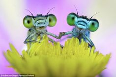 """Love Bugs"" -  Vividly colored damselflies look as if they're holding hands as they cuddle up on a flower, shortly after dawn one morning near the River Po in the Po Valley, Italy."