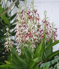 My Orchids Journal: Phaius tankervilleae orchid