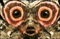 Speckled Emperor moth, South Africa. Those highlights in the 'eyes'. http://malcolmpollack.com/images/moth.gif
