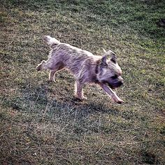 """""""If I run fast enough I can clap with my ears  #alfborder #borderterrior #btposse #ultimateborder #hound #dog #puppy #pooch #cotswolds #selsey"""" Photo taken by @combehouse on Instagram, pinned via the InstaPin iOS App! http://www.instapinapp.com (09/20/2015)"""
