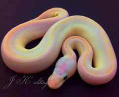 WhAT IN GOD'S NAME IS THIS WONDEROUS SNAKE AND WHERE CAN I GET ONE?!!!