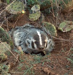 A badger in the Texas Panhandle