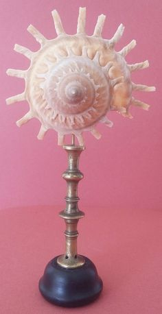 CABINET DE CURIOSITES - COQUILLAGE STELLARIA SUR SOCLE - ODDITIES - SHELL STAND