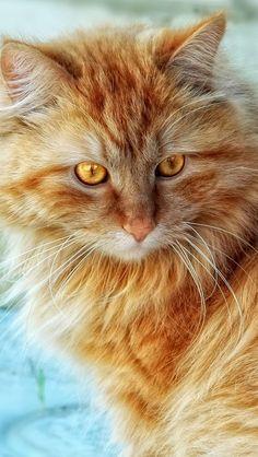 Beautiful orange kitty with golden eyes by vadaka1986's photos on Flickr.