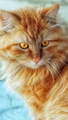 Beautiful orange kitty with golden eyes by vadaka1986's photos on Flickr.