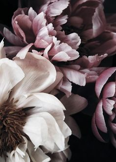 Here you will find floral prints and posters. Stylish posters with botanical prints of colorful plants. Buy botanical posters online from Desenio. Wall Poster, Foto Poster, Poster Prints, Poster Poster, Peony Flower, Flower Art, Peony Plant, Art Floral, Hydrangea Bloom