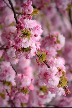 Ideas For Flowering Cherry Tree Pink Blossom Cherry Blossom Japan, Pink Blossom, Blossom Trees, Cherry Blossoms, Spring Tree, Spring Flowers, Spring Blooms, Amazing Flowers, Beautiful Flowers