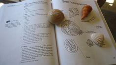 sea shell identification
