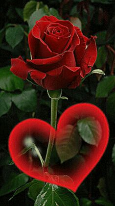The perfect Rose Heart Animated GIF for your conversation. Discover and Share the best GIFs on Tenor. Beautiful Rose Flowers, Flowers Gif, Beautiful Flowers Wallpapers, Red Rose Flower, Love Rose, Exotic Flowers, Love Flowers, Love Heart Images, Rose Images