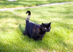 Ever thought about taking your cat for a walk?
