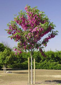 purple robe locust, drought resistant, and hardy!!  Blooms are fragrant too.