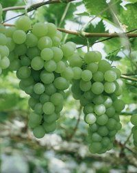 Grapes - I'd love to plant several varieties - staring with this one.