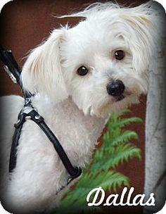 Anaheim Hills, CA - Maltese/Poodle (Miniature) Mix. Meet Dallas, a dog for adoption. http://www.adoptapet.com/pet/14038101-anaheim-hills-california-maltese-mix