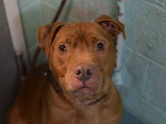 GONE - 01/24/15 Brooklyn Center *  My name is CHOCOLATE. My Animal ID # is A0782176. I am a neutered male tan and white pit bull mix. The shelter thinks I am about 6 YEARS old.  I came in the shelter as a OWNER SUR on 01/11/2015 from NY 11413, owner surrender reason stated was ATT ANIMAL  https://www.facebook.com/photo.php?fbid=949210841758462