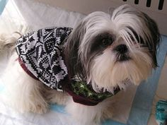 Little shih tzu in a sweater