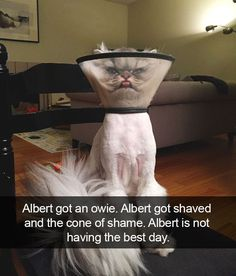 cat: Albert got an owie. Albert got shaved and the cone of shame. Albert is not having the best day.