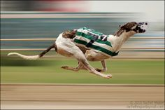hunting dogs greyhound - Google Search