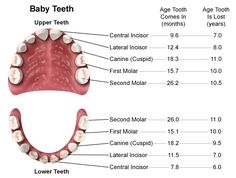 The average infant begins the teething process around the age of six months. Most often it is the two bottom front teeth (lower central incisors) which appear first, followed by the two top front teeth (upper central incisors). It commonly takes up to three years for a child to develop all twenty baby teeth.   http://www.topdentist-ny.com/baby-teeth-teething