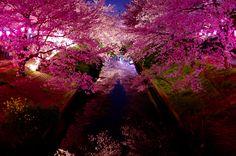 20150402 宵桜 at 海老川(船橋市)