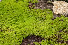 Scotch Moss (Arenaria verna): Care and Growing Guide Growing Moss, Moss Plant, Sloped Garden, Bloom Where You Are Planted, Moss Garden, Lawn, Scotch, Backyard, Rock