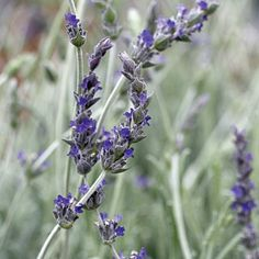 Lavender 'Goodwin Creek Grey' - Drought Tolerant Container Plants  Sunset