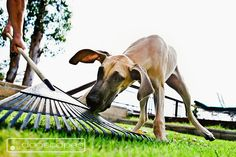 Sadie the #Great #Dane inspecting a suspicious object!