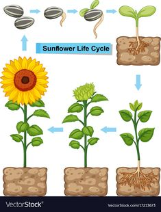 Life cycle of sunflower plant Royalty Free Vector Image illustration Preschool Themes, Kindergarten Activities, Activities For Kids, Crafts For Kids, Sequencing Activities, Sunflower Life Cycle, Sunflower Garden, Montessori, Planting Sunflowers