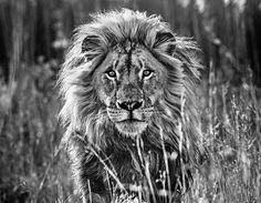 The Full Nine Yards | There is nothing more exciting or fearsome than the sight of a lion charging towards you in the wild. - - by David Yarrow