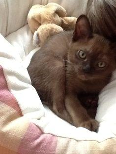 Fiji our Burmese kitten.