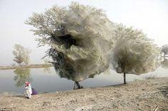 El Árbol de la Araña 02. Cuando el hábitat de las arañas (el suelo) se ve perjudicado por las inundaciones, estas arañas de Medio Oriente tienden a crear estos árboles en Pakistán.