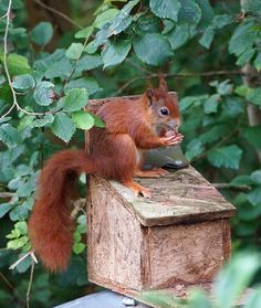Cornwall CAM - A red squirrel in Tresco Abbey Garden, Isles of Scilly