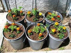 the Week: Tomatoes for Small Spaces Plant marigolds around your entire vegetable garden to add bright color and keep the insect predators at bay.Plant marigolds around your entire vegetable garden to add bright color and keep the insect predators at bay. Tips For Growing Tomatoes, Growing Tomatoes In Containers, Growing Vegetables, Grow Tomatoes, Patio Tomatoes, Organic Gardening, Gardening Tips, Vegetable Gardening, Gardening Websites