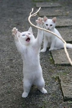 Wowza! Cord to plays wif! OTHER KITTEN:  I iz gonna getz de other end and he'z gonna trips de light fantastic.