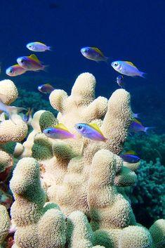 Oval Chromis juveniles, Keei, Hawaii reef by BarryFackler