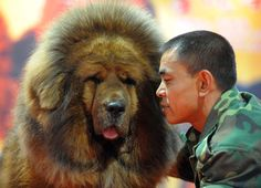 Tibetan dogs are one the big and most famous dog breed in the world. Tibetans dogs are like lion in look.