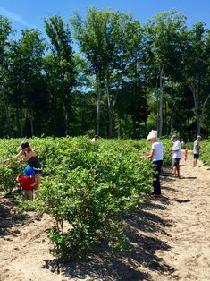 It was another beautiful day here at our popular u-pick farm with lots of organic #blueberry picking and happy people everywhere
