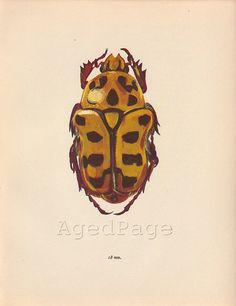 Insect Print, Vintage Art Illustration, Wall Decor, Beetle, Polystigma punctata. $10.00, via Etsy.