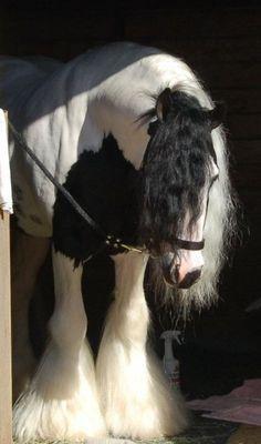 Piebald Gypsy Vanner Stallion, Highway Star