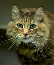 Madie is an adoptable Torbie Cat in Saint Paul, MN. Hi! I thought I'd try to do my own marketing with the help of my photographer while my biographer is unavailable. You wouldn't believe all the human...