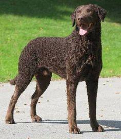 Curly Coated Retriever ~ Classic Look & Trim ~ SoftMaple Kennels Curly Coated Retriever, Large Dog Breeds, Large Dogs, Braque Du Bourbonnais, Bluetick Coonhound, Norwich Terrier, Retriever Puppy, Dog Photos, Dog Life