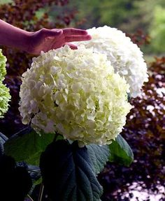 Incrediball ® Hydrangea Perennial - Huge Flowers - Potted - Proven Winners